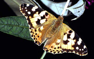 Schmetterlinge in Gefahr